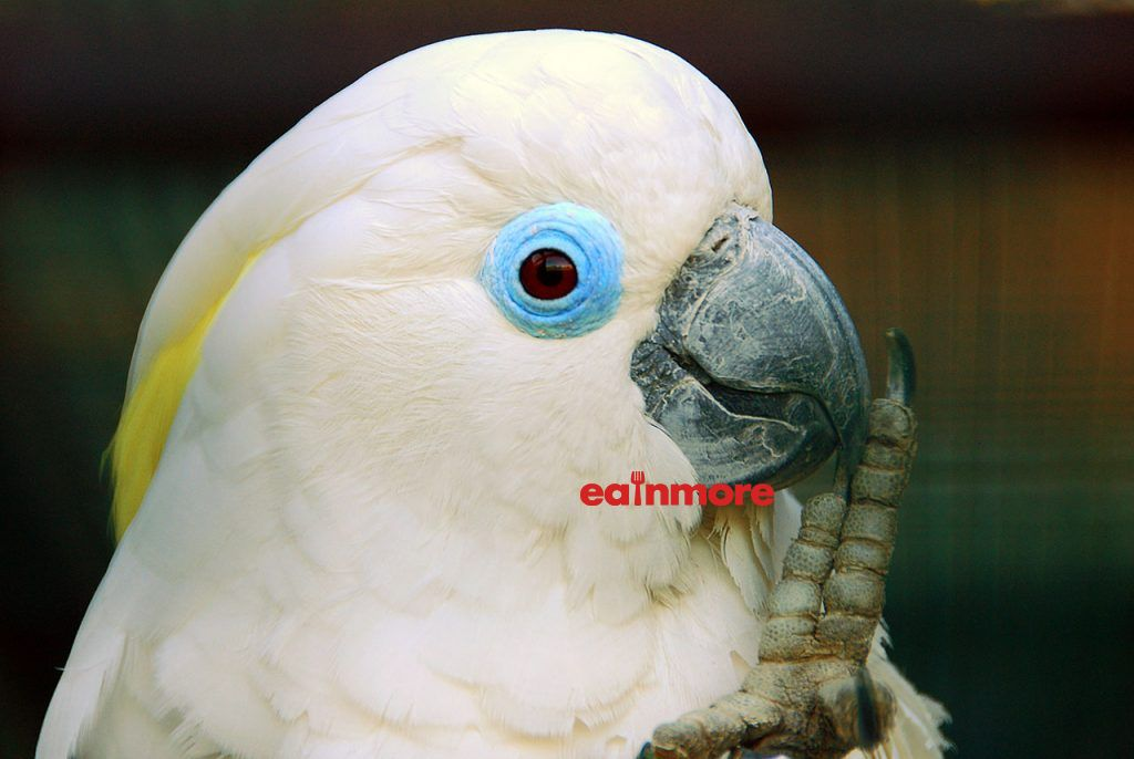 Vet Blue Eyed Cockatoo 1
