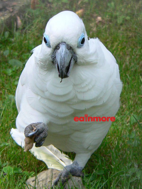 Vet Blue Eyed Cockatoo 2