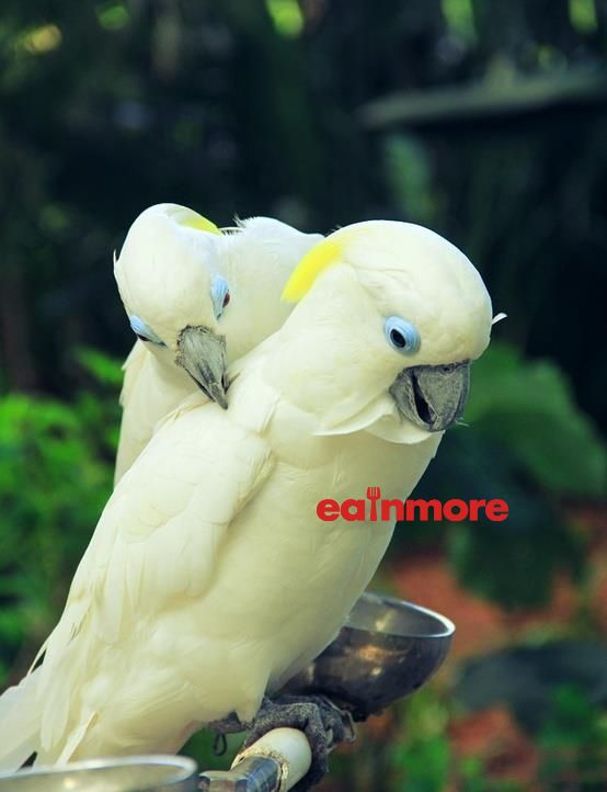 Vet Blue Eyed Cockatoo 3