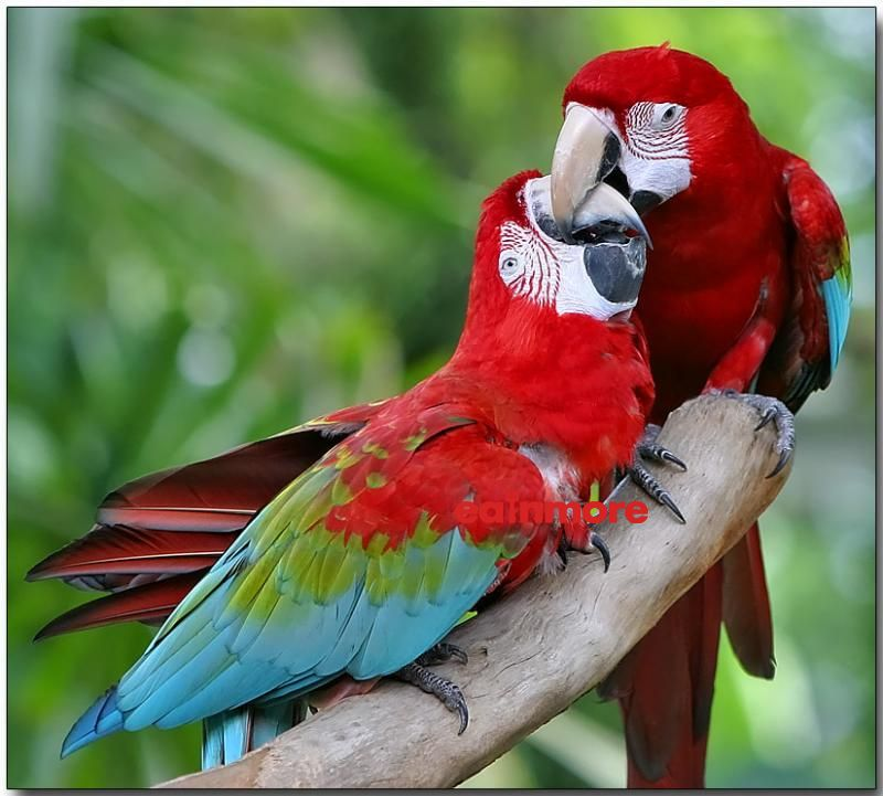 vet green winged macaw pair